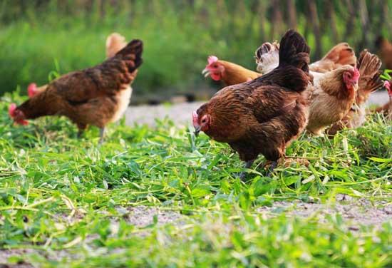 养鸡场消毒方法