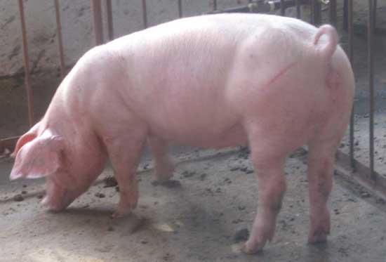断奶母猪的饲养管理技术