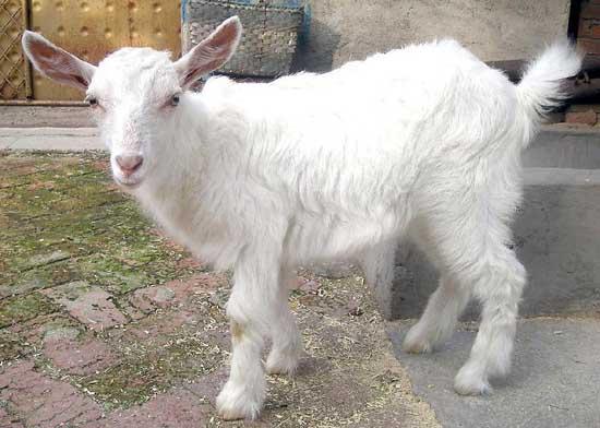 小尾寒羊羊痘防治方法