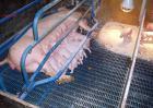 妊娠母猪的饲养管理技术
