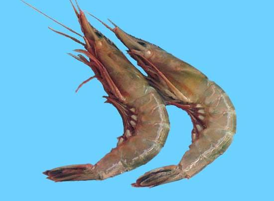 青虾网箱高效养殖技术
