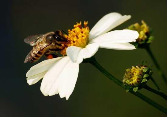 蜜蜂人工分蜂技术