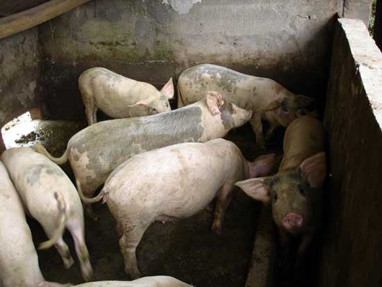 农村高效养猪技术