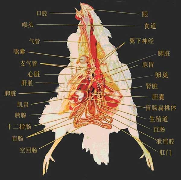 鸡的生理解剖图