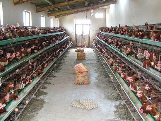 鸡舍消毒程序详细介绍及带鸡消毒措施