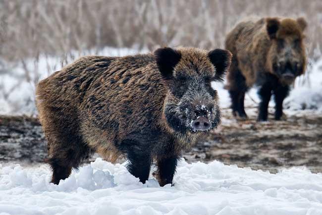 野猪肉的营养价值