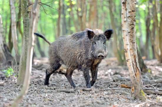 发展野猪养殖不赚钱的原因