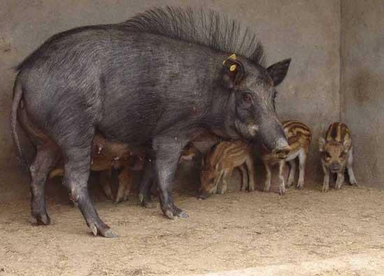 母野猪妊娠的简易判断方法