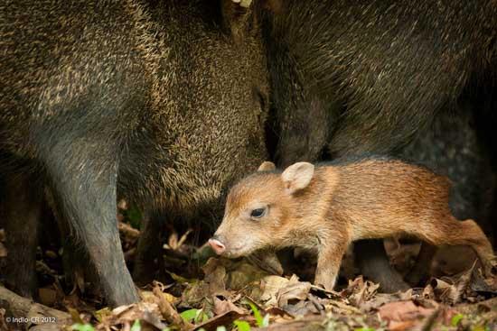 适时配种提高野猪养殖效益
