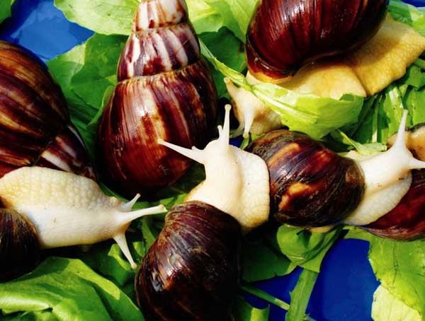 冬季白玉蜗牛养殖保温方法