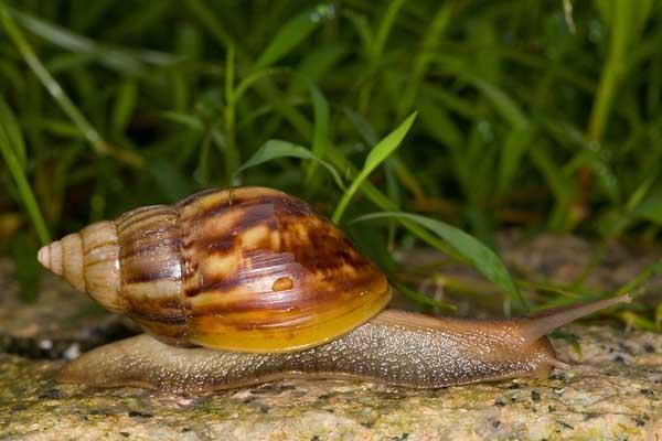 食用蜗牛的养殖前景