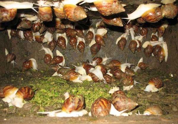 白玉蜗牛养殖的经济价值