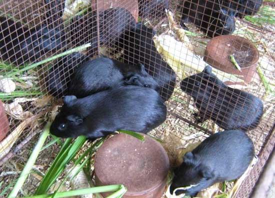 黑豚养殖到底有没有前途?