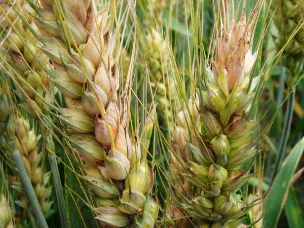 小麦赤霉病的防治措施