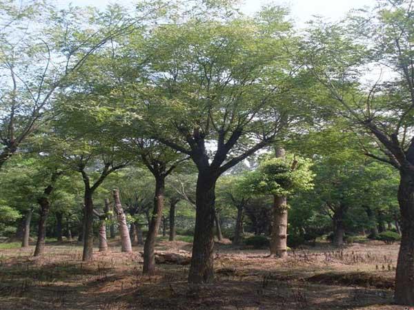 国槐树的用途分析