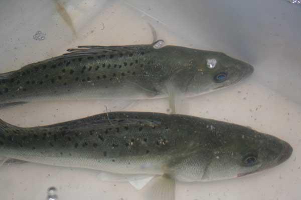 鲈鱼高产人工养殖技术