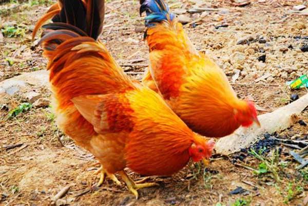 杏花鸡繁殖期管理技术