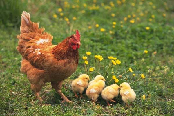 养鸡成本核算方法