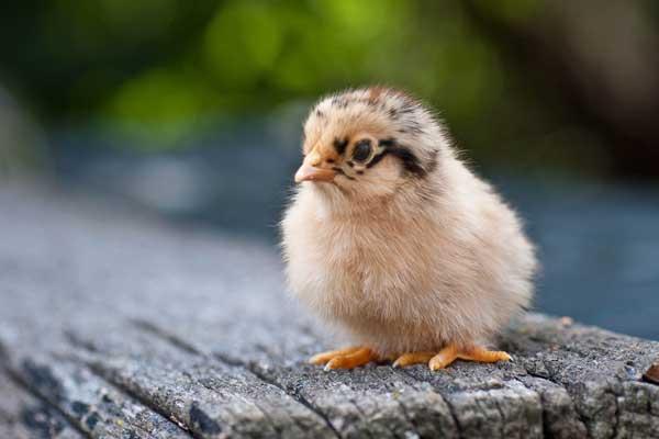 常见鸡病诊断和防治