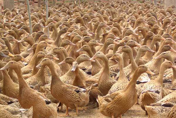 如何延长蛋鸭产蛋高峰期?