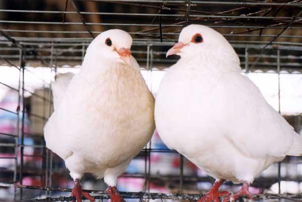 肉鸽养殖前景怎么养?