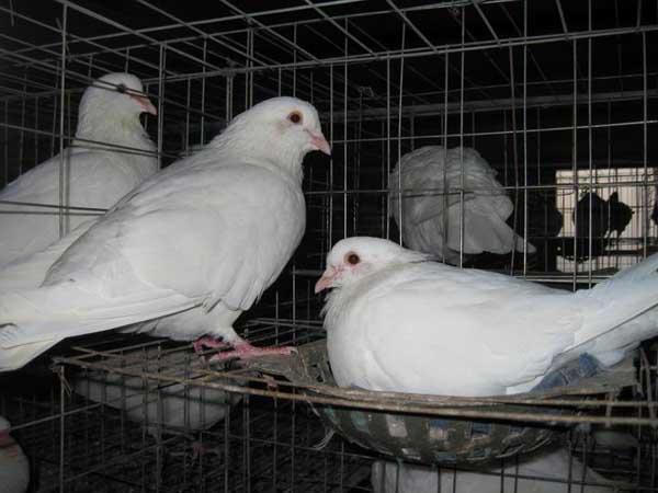 鸽子饲料配方原则及参考方案