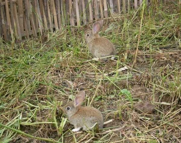 杂交野兔养殖技术