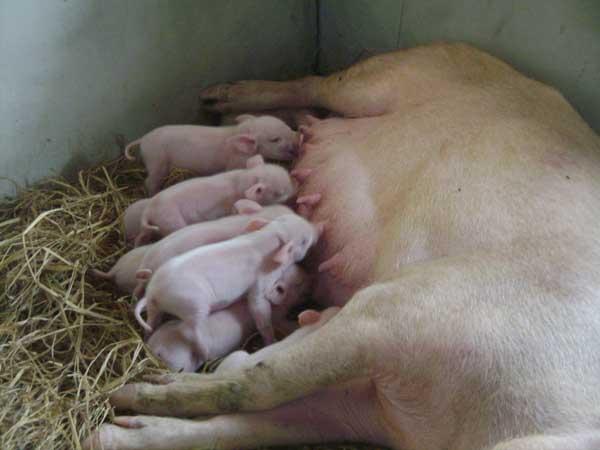 母猪难产该怎么办