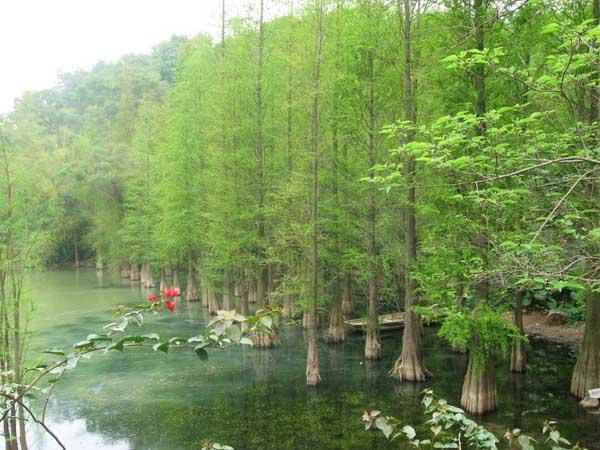 金葉水杉栽培技術