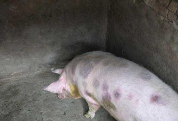 猪丹毒防治方法