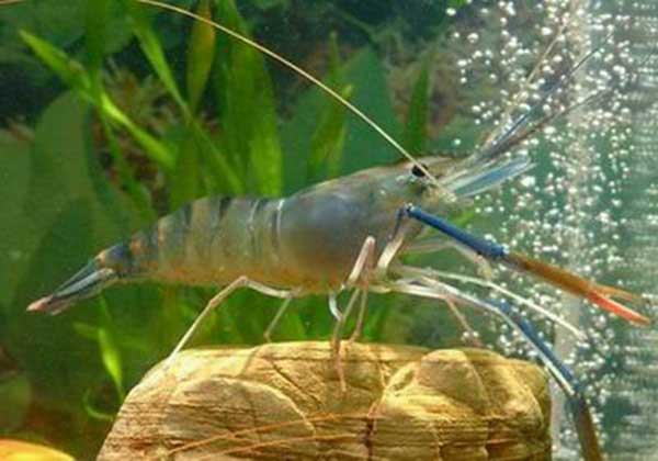 对虾养殖的成本控制