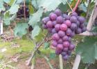巨峰葡萄高产栽培技术