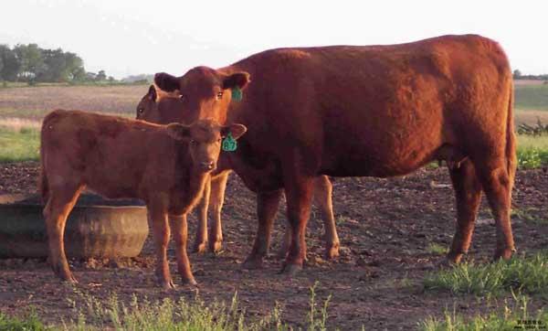 鲁西黄牛高效养殖技术