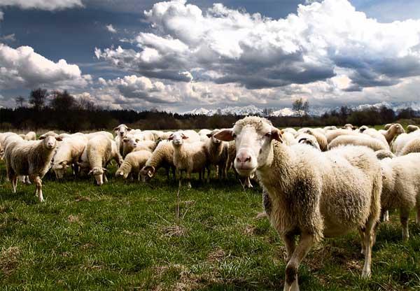 绵羊的生活习性和行为特点
