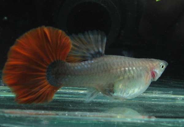 孔雀鱼的繁殖技术