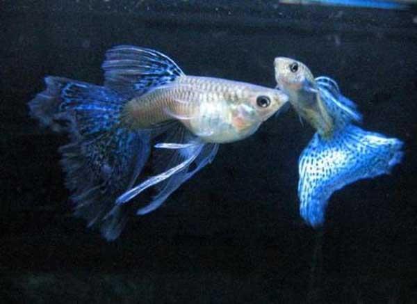 孔雀鱼该怎么饲养?