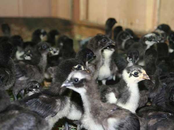 旧院黑鸡的繁殖技术