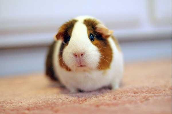 荷兰猪寿命到底有多长