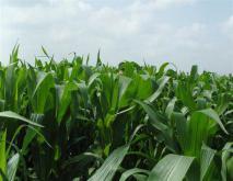 墨西哥玉米草