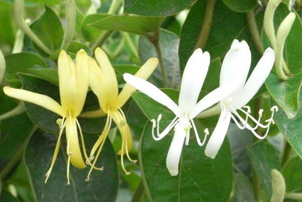 金银花有什么副作用?