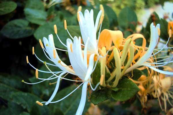 金银花有什么副作用