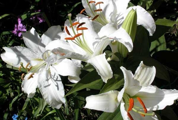 百合花语是什么?