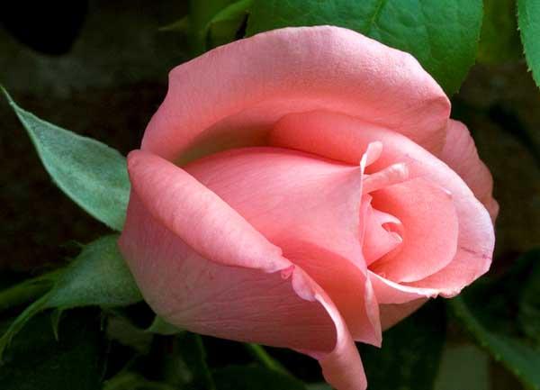 不同颜色和数量的玫瑰花语