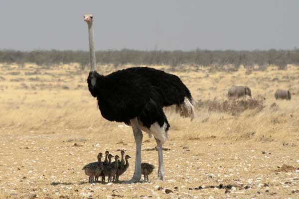 鸵鸟的高效养殖技术