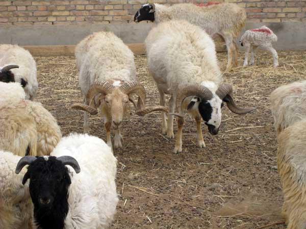 羊沙门氏菌病的防治措施