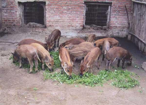 牧草养猪技术