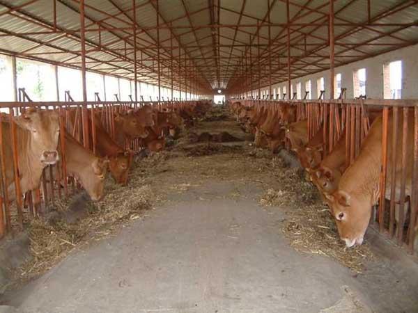 肉牛短期育肥技术