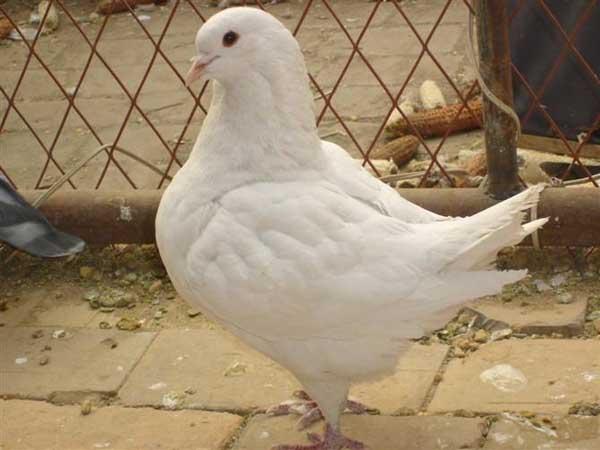 肉用种鸽选购方法