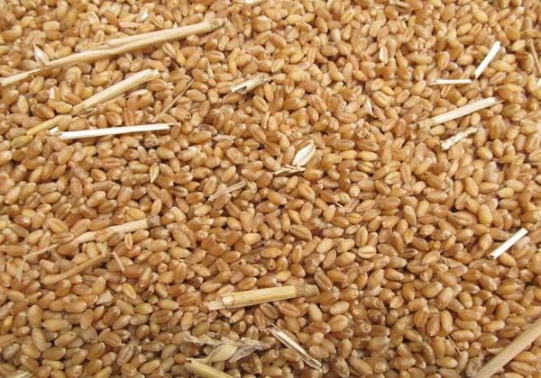 小麦胚芽油的作用