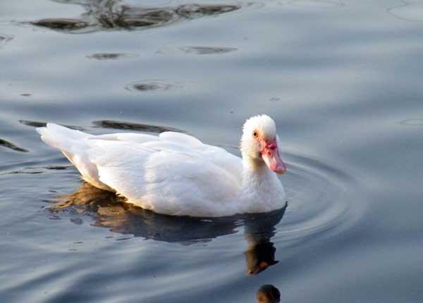 鸭子为什么会吃毛?